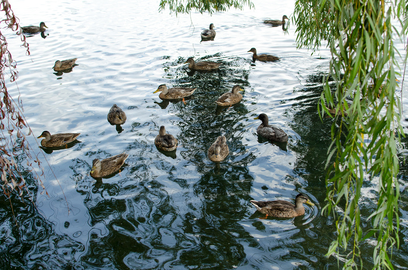 Ducks at the Children's Lake in Boiling Springs, PA