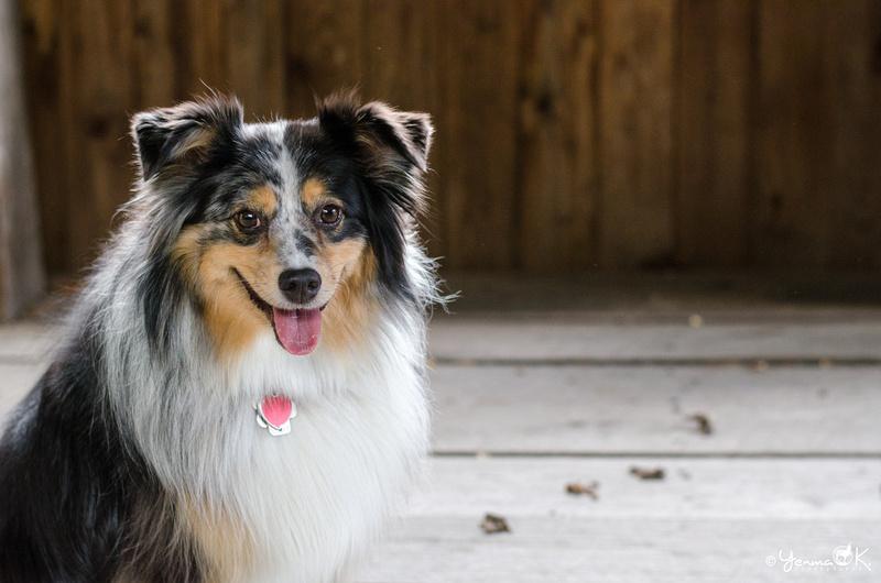 Pet Photography Mini Australian Shepherd