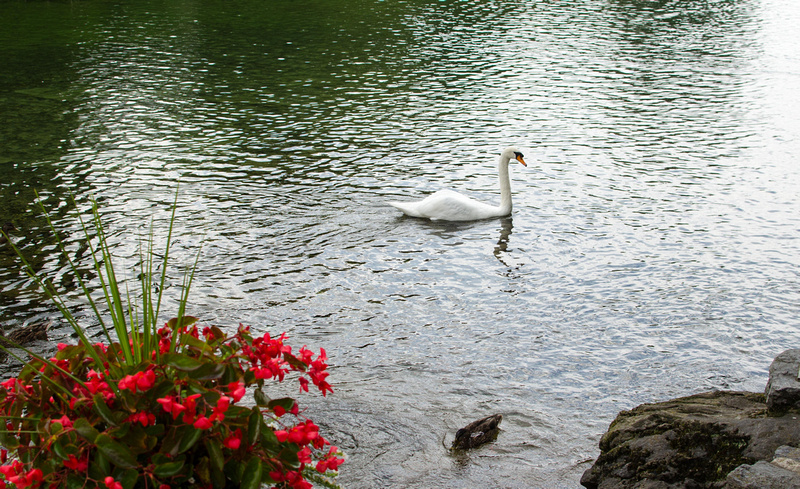 Swan swimming in Children's Lake Boiling Springs
